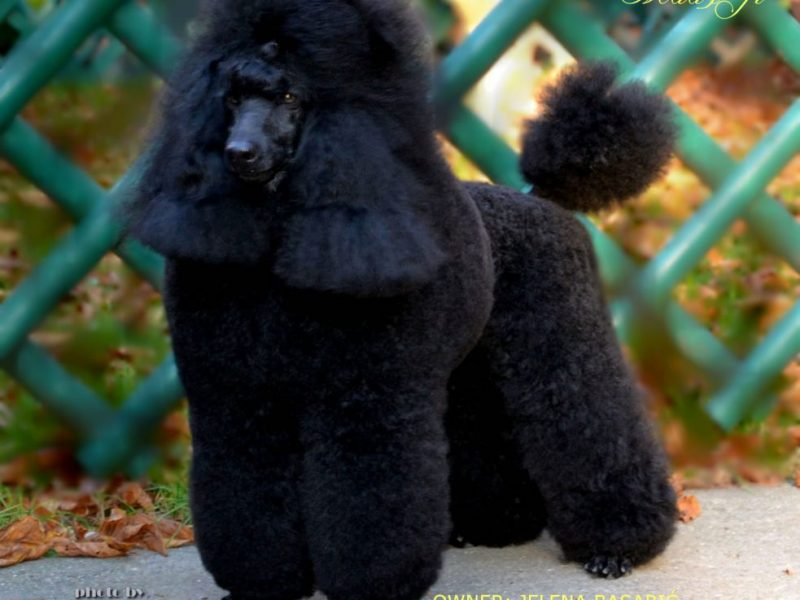 Open for Stud Black Medium Poodle