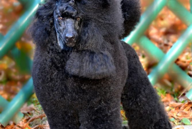 Medium Poodle owned by Jelena Basarić