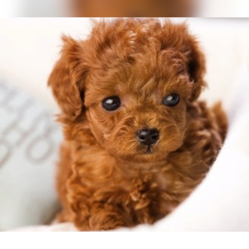 Toy Poodle wanted