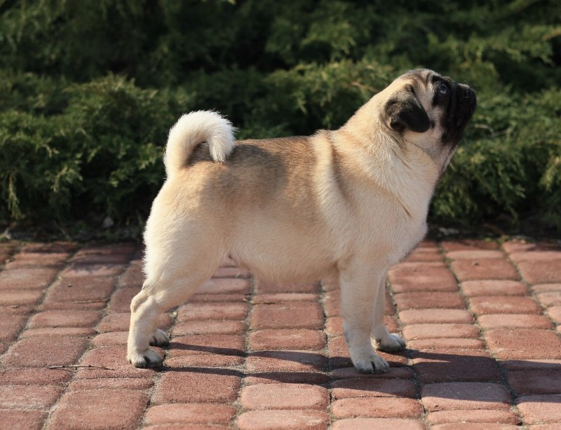 Mops | Pug