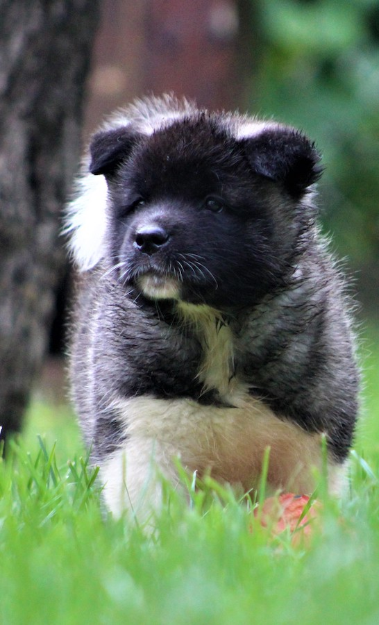 American Akita Puppies Looking for Best Home