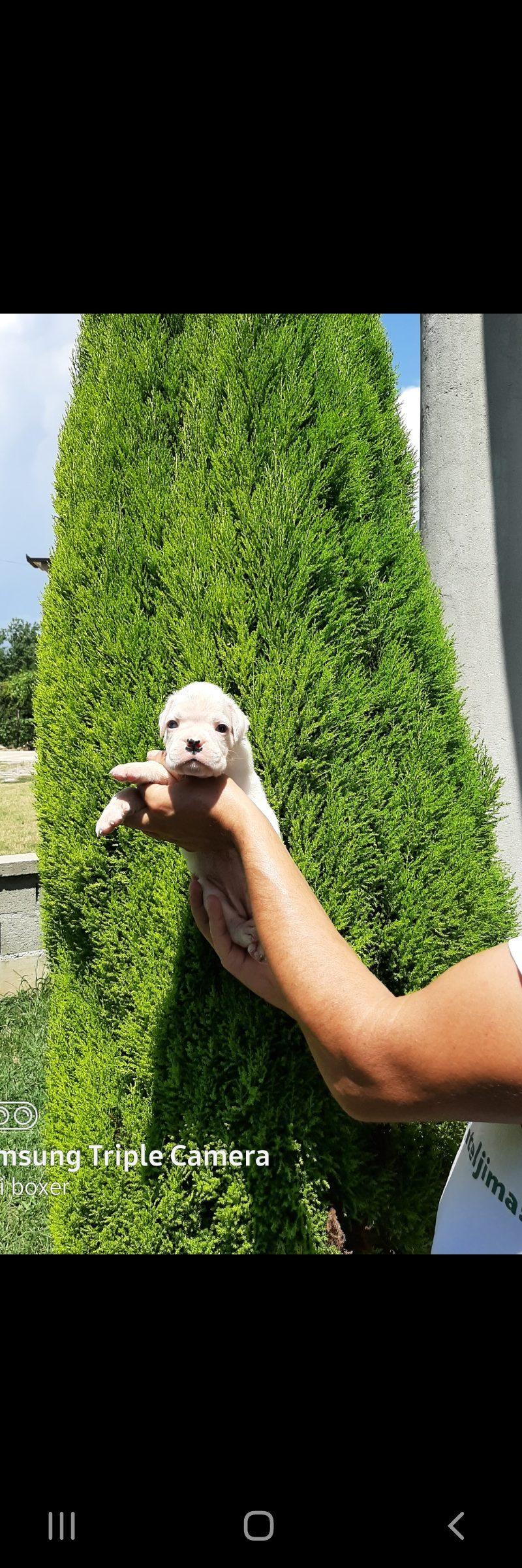 Deutscher Boxer Puppies for Sale