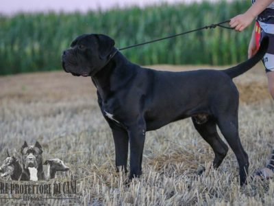 Cane Corso | Dog for Sale JCH Srb