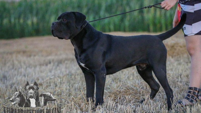 Cane Corso Dog for Sale JCH Srb