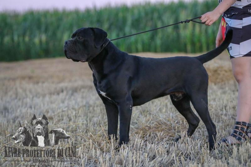 Cane Corso | Dog for Sale JCH Srb