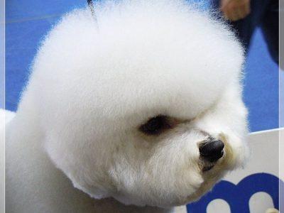 Bichon Frise Canis Majoris aka Kan