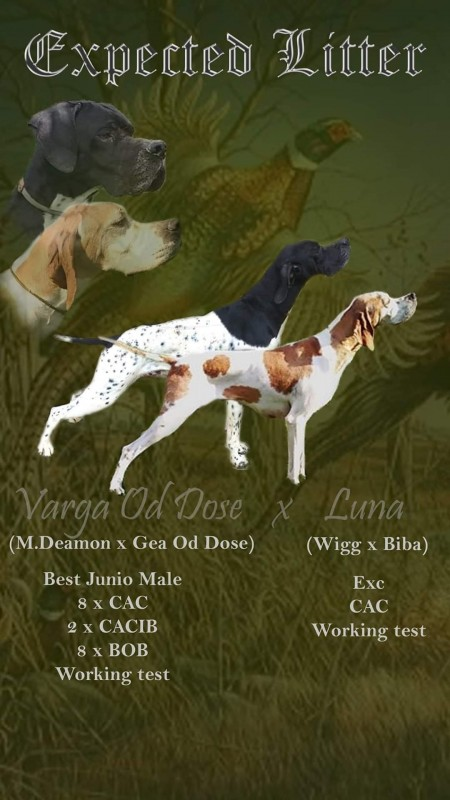 English pointer puppy for sale
