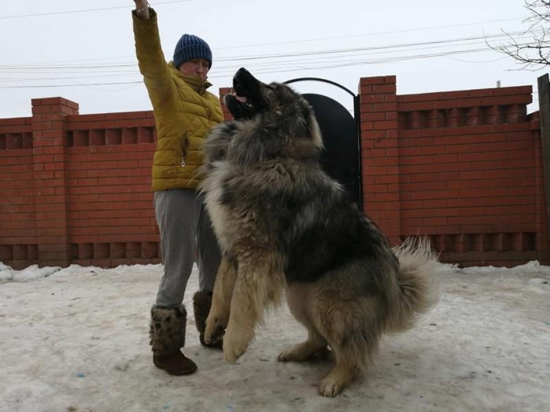 JHC RUS, ch RKF | Caucasian Shepherd Dog