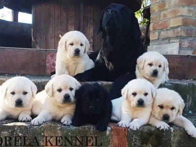 Exceptional Labrador retrievers puppies