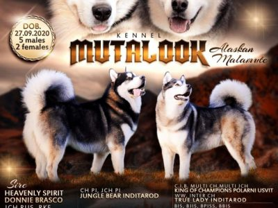 Pedigree and high-quality seal-colored Puppies | Alaskan Malamute