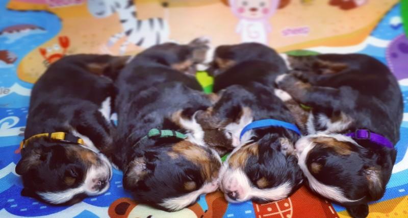 Bernese Mountain dog - puppies
