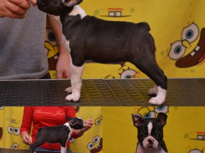 Boston terrier boy
