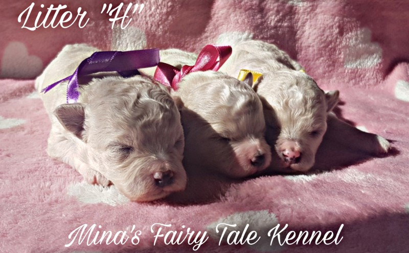 Beautiful Bichon Frise puppies from Mina's Fairy Tale kennel