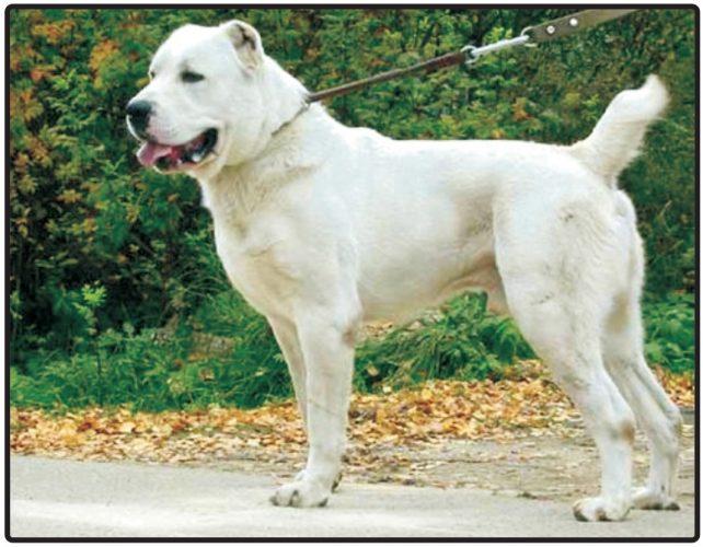 Cental Asia Shepherd Dog/Alabai