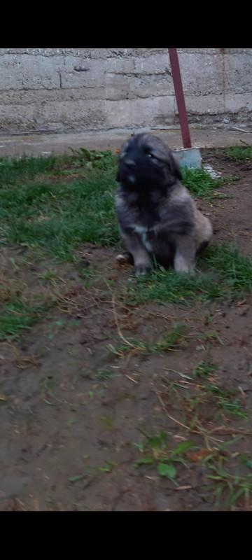 Sarplaninac puppies