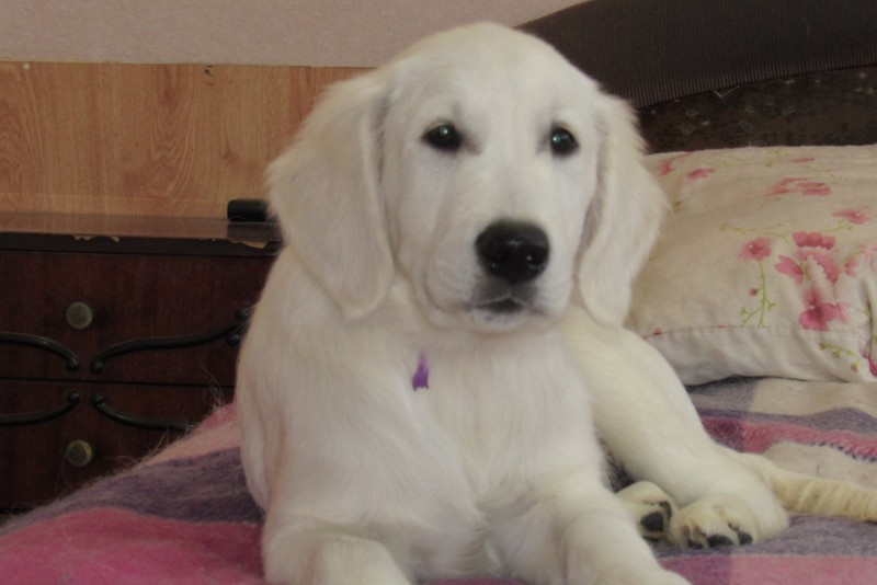 Puppy male looking for a new home | Golden Retriever