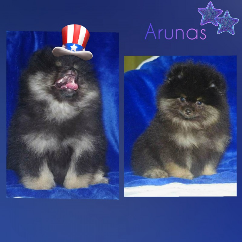 Pomeranian boys looking forever home