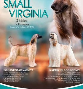AFGHAN HOUND Top Quality Puppies