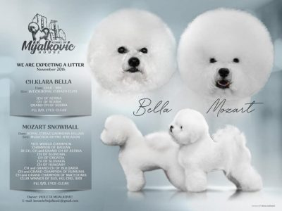 Puppies for sale Bichon Frise