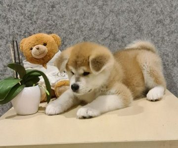 Akita Inu Puppy for Sale