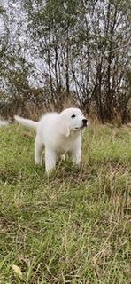 TATRA SHEPHERD DOG | POLSKI OWCZAREK PODHALANSKI