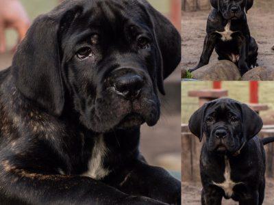 Super puppy! | Cane Corso