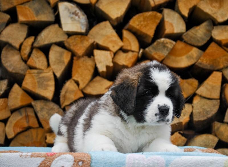 ST.BERNHARDSHUND Puppies