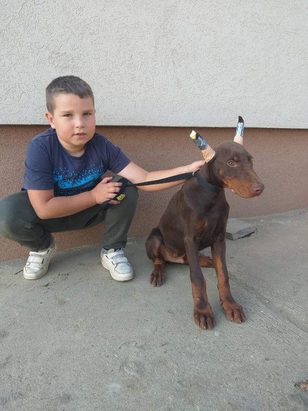 A 4 month old Dobermann puppy with copied ears and tails