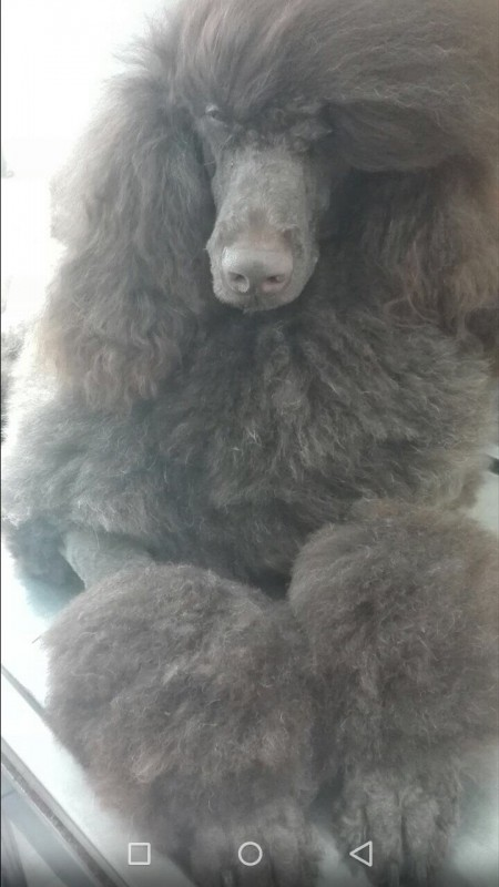 Standard Poodle puppies FCI reg.