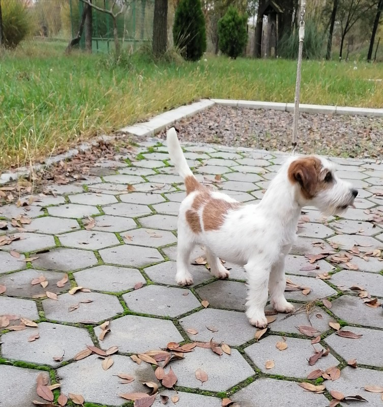 Male broken Jack Russell terrier