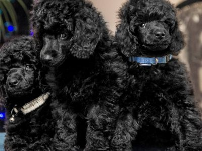 SENT MORTEN poodle kennel