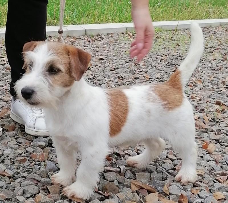 Male broken Jack Russell terrier
