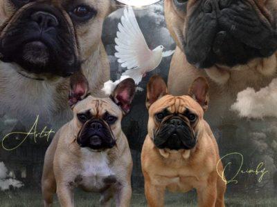 CH | French Bulldog