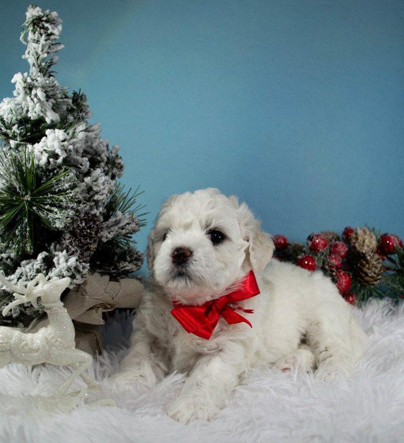 Puppies for sale Bichon Frise