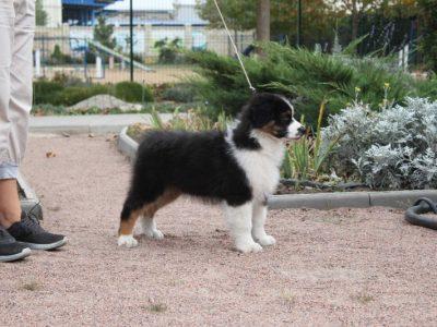Puppy male Australian shepherd