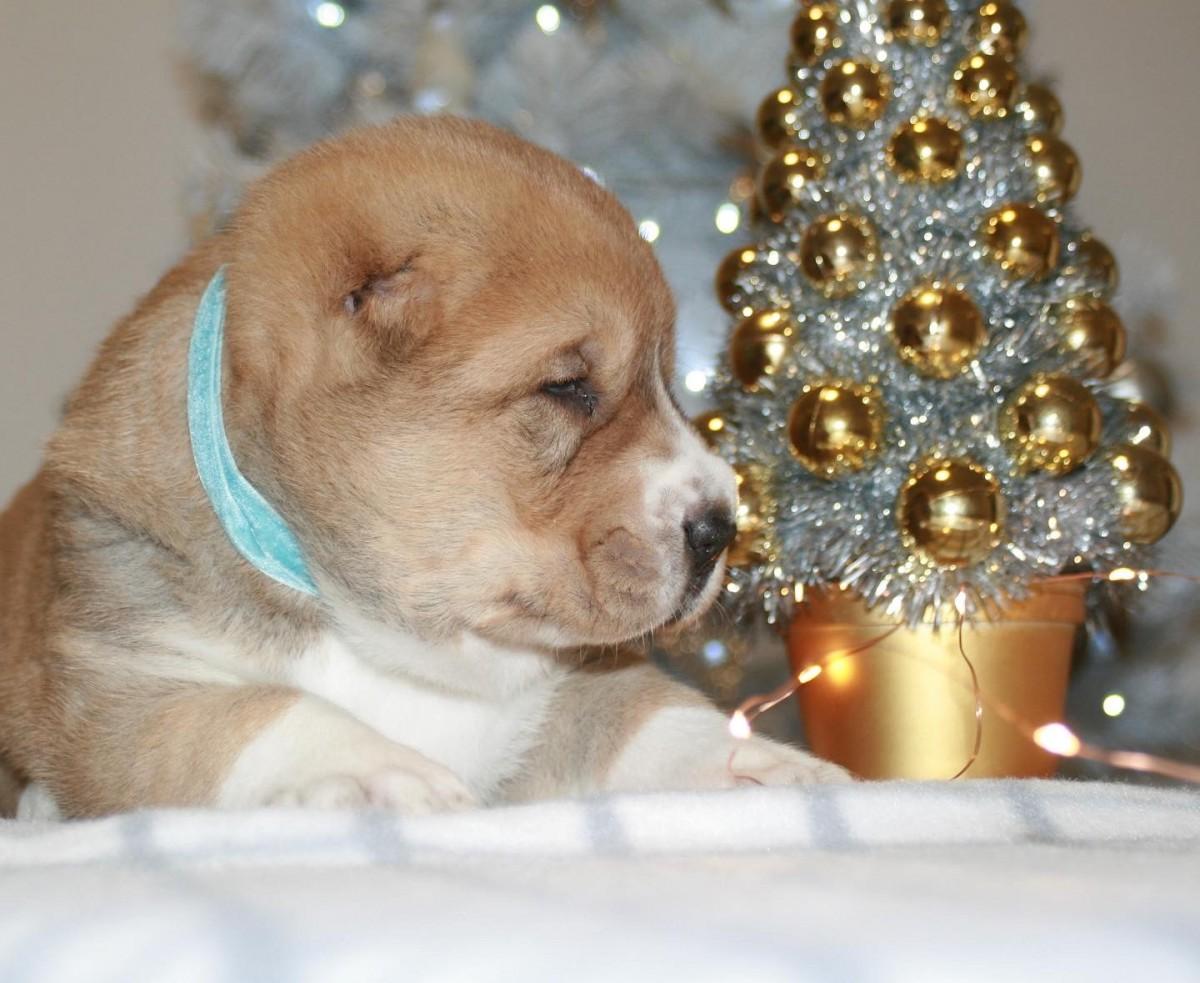 DYNAR KHRABRIY VOIN | CENTRAL ASIA SHEPHERD DOG