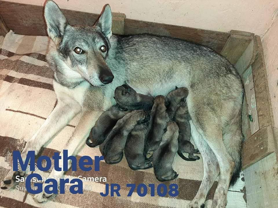 Puppies of Czechoslovakian wolf dog, first chosen male and female.