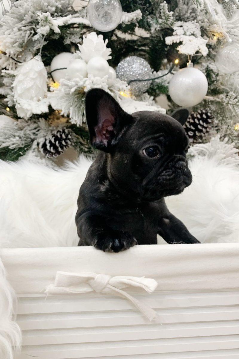 French Bulldog - puppy