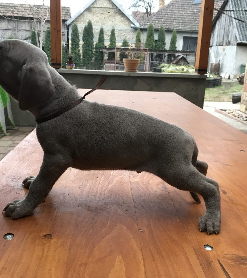 Puppies looking for home | Weimaraner