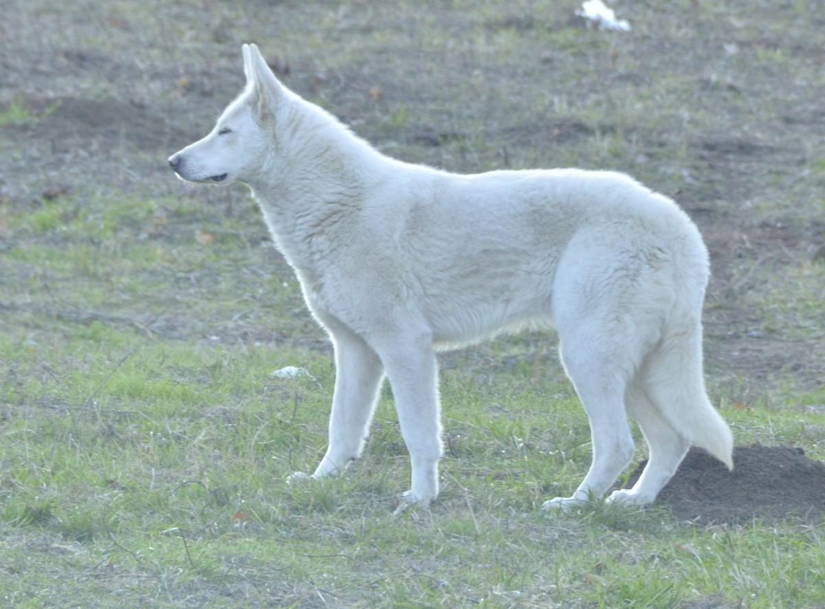 WHITE SWISS SHEPHERD DOG, Short-haired Female