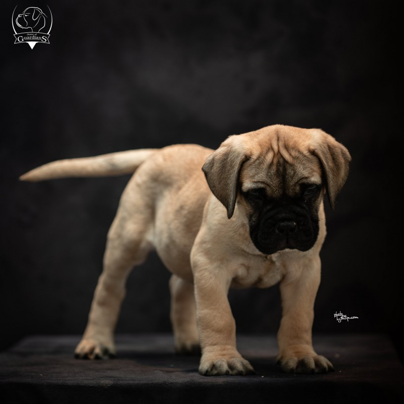 Bullmastiff pups from Home of Guardians kennel