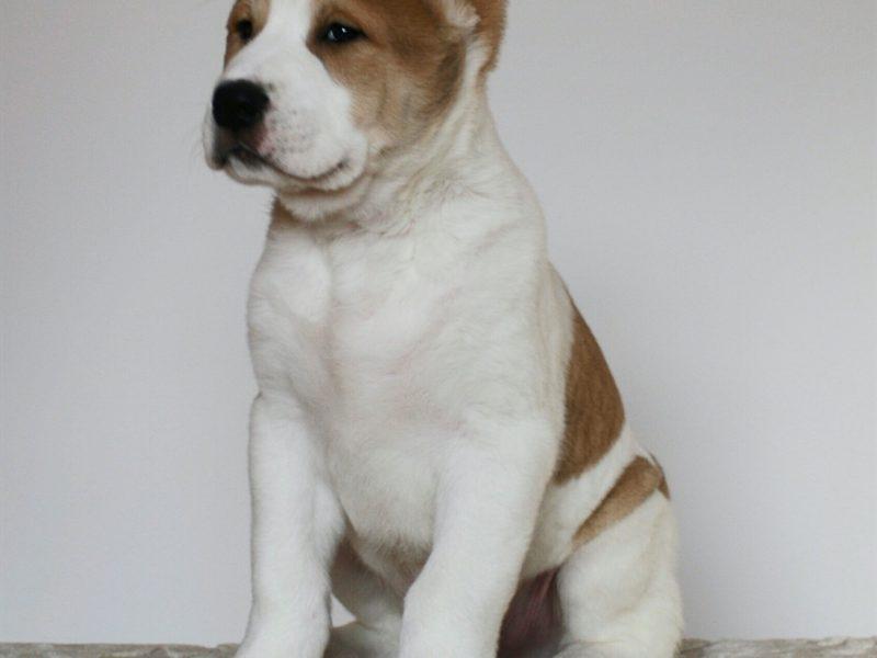 DARIY KHRABRIY VOIN | CENTRAL ASIA SHEPHERD DOG