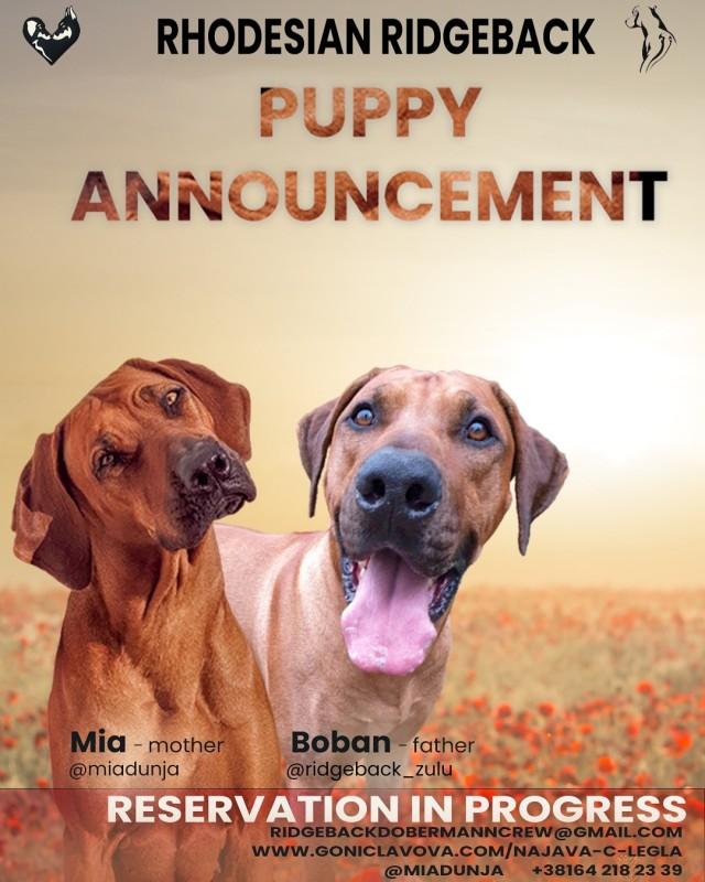 Rhodesian Ridgeback litter announcement