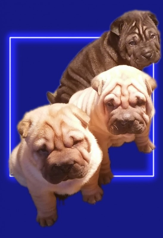 Available Shar Pei Puppies