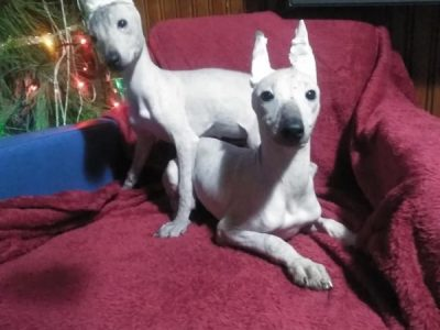 2 XOLOITZCUINTLE MEXICAN HAIRLESS PUPPY GIRLS