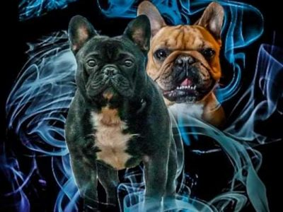 JCHSR, CHSR | French Bulldog