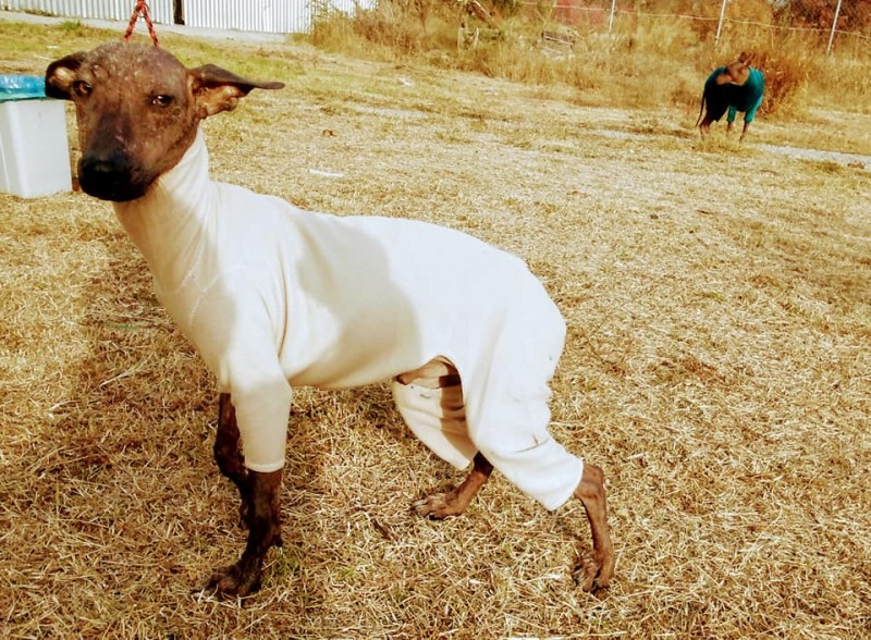 XOLOITZCUINTLE, MEXICAN HAIRLESS YOUNGTER