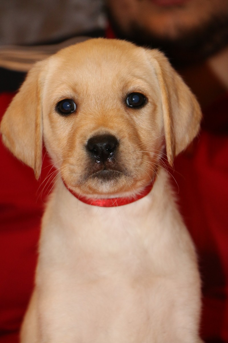 Flavia Pearl Labrador Kennel present our new litters | LABRADOR RETRIEVER