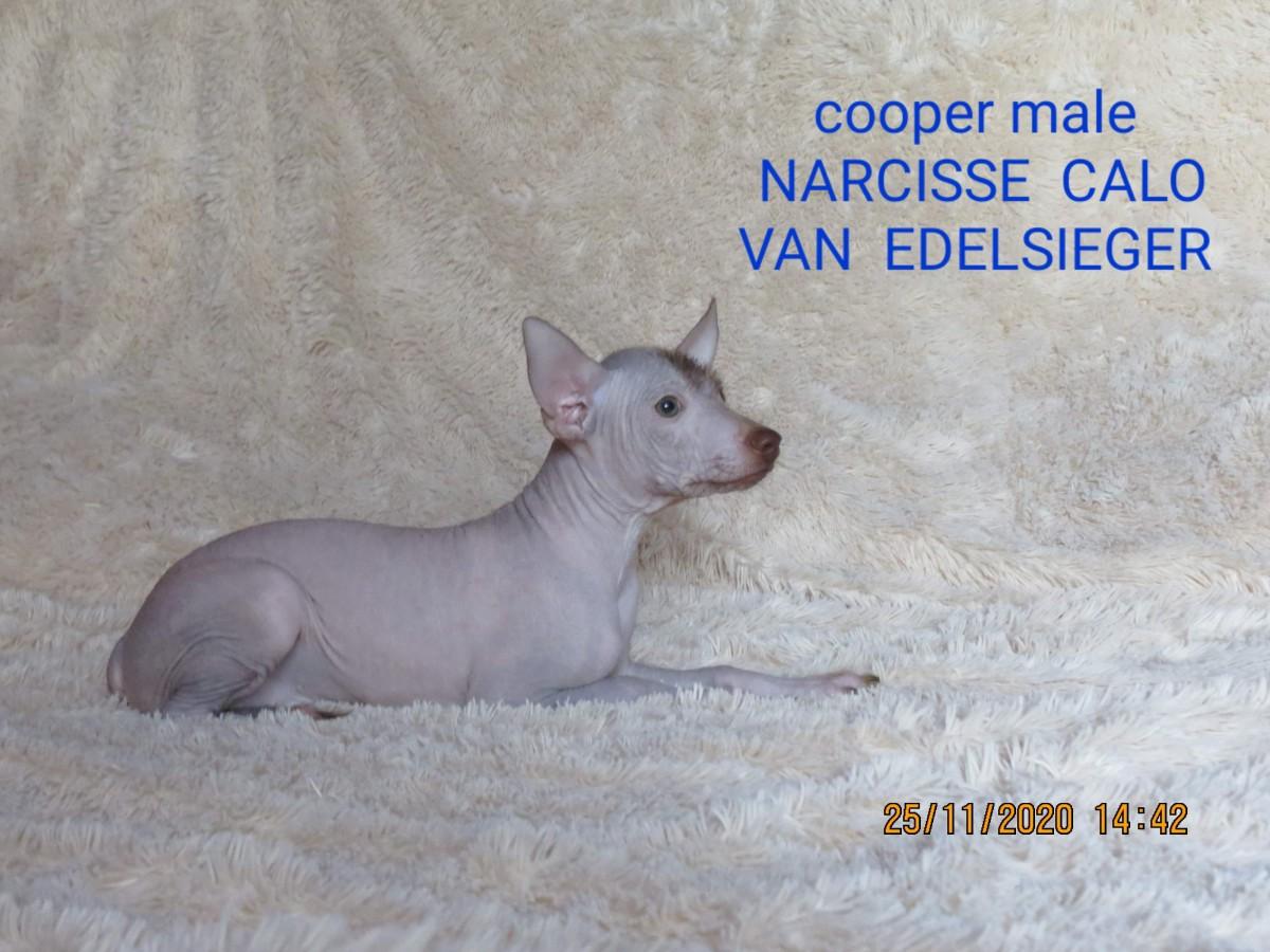 Small PERUVIAN HAIRLESS DOG