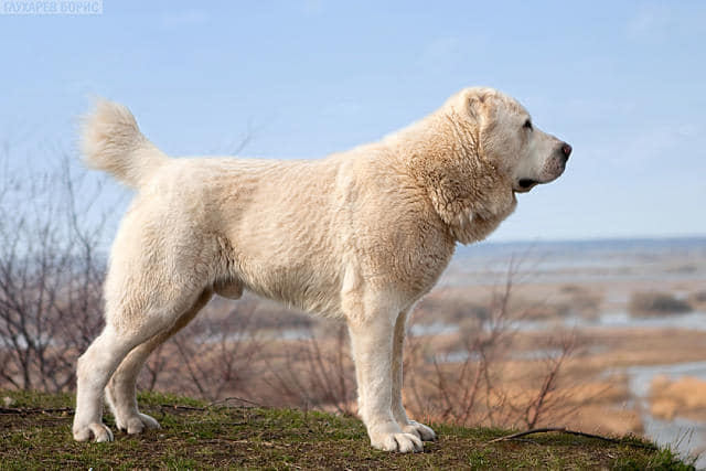 CENTRAL ASIA SHEPHERD DOG-PUPPIES